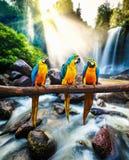 Blue-and-Yellow Macaw Ara ararauna Royalty Free Stock Images