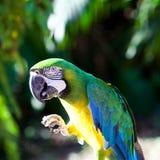 Blue-and-Yellow Macaw (Ara Ararauna) Stock Photography