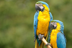 Blue-and-yellow Macaw (Ara ararauna). The Blue-and-yellow Macaw (Ara ararauna), also known as the Blue-and-gold Macaw, is a large parrot with blue top parts and Royalty Free Stock Image