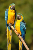 Blue-and-yellow Macaw (Ara ararauna) Royalty Free Stock Image