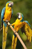 Blue-and-yellow Macaw (Ara ararauna). The Blue-and-yellow Macaw (Ara ararauna), also known as the Blue-and-gold Macaw, is a large parrot with blue top parts and Royalty Free Stock Photography