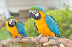 Blue-and-yellow Macaw (Ara ararauna) Stock Photo