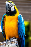 Blue-and-yellow Macaw. The Blue-and-yellow Macaw (Ara ararauna), also known as the Blue-and-gold Macaw, is a large South American parrot Royalty Free Stock Photo