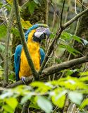 The Blue-and-yellow Macaw, Ara ararauna is a large South American parrot royalty free stock photography