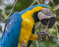 The Blue-and-yellow Macaw. (Ara ararauna), also known as the Blue-and-gold Macaw, is a large South American parrot with blue top parts and yellow under parts royalty free stock photography