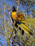 Blue-and-yellow macaw. The blue-and-yellow macaw Ara ararauna, also known as the blue-and-gold macaw,  a large South American parrot with blue top parts and Royalty Free Stock Photo