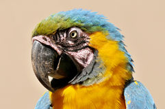 The Blue-and-yellow Macaw Royalty Free Stock Images