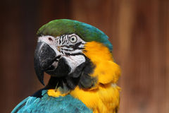 Blue-and-yellow macaw (Ara ararauna). Royalty Free Stock Photo