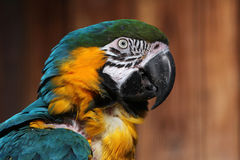 Blue-and-yellow macaw (Ara ararauna). Stock Photography
