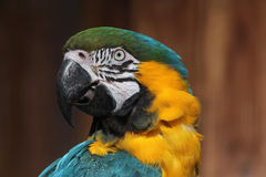 Blue-and-yellow macaw (Ara ararauna). Stock Images