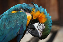 Blue-and-yellow macaw (Ara ararauna). Royalty Free Stock Images