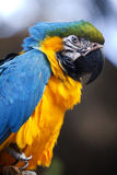 Blue-and-yellow Macaw (Ara ararauna) Royalty Free Stock Images