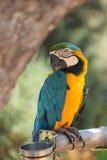 Blue and yellow macaw. (Ara ararauna). Stock Photo
