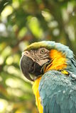 Blue and Yellow Macaw Stock Images