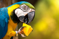 Blue-and-yellow macaw (Ara-ararauna) Royalty Free Stock Photos
