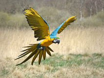 Blue and yellow Macaw (Ara ararauna) Royalty Free Stock Image