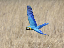 Blue and yellow Macaw (Ara ararauna) Royalty Free Stock Photo