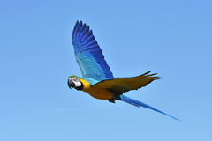 Blue and yellow Macaw (Ara ararauna) Stock Image