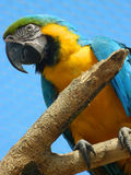Blue and yellow macaw (Ara ararauna). Foreground of a beautiful and colourful macaw Stock Photo