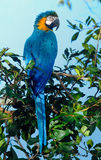 Blue-and-yellow macaw. (Ara ararauna) in the forest nearby Cuiab Stock Images