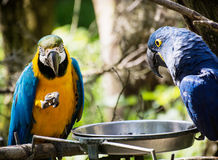 Blue-and-yellow macaw (Ara ararauna) and Hyacinth macaw (Anodorh Royalty Free Stock Image