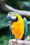Blue-and-yellow Macaw. A blue-and-yellow macaw (ara ararauna) at the Jurong Bird Park in Singapore royalty free stock photo