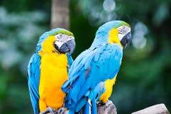Blue-and-yellow Macaw. A blue-and-yellow macaw (ara ararauna) at the Jurong Bird Park in Singapore royalty free stock photography
