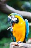 Blue-and-yellow Macaw. A blue-and-yellow macaw (ara ararauna) at the Jurong Bird Park in Singapore stock images