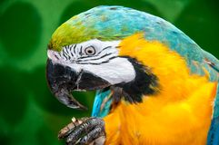 Blue-and-yellow Macaw or Ara ararauna Stock Image