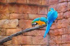 Blue-and-Yellow Macaw Ara ararauna stock photography