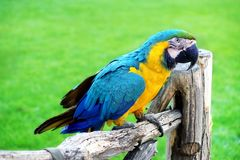 Blue And Yellow Macaw Or  Ara Ararauna  Parrot Royalty Free Stock Image