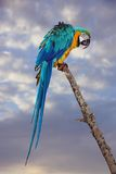 Blue And Yellow Macaw Or  Ara Ararauna  Parrot Stock Images