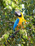 Blue and yellow Macaw (Ara ararauna) Stock Photo