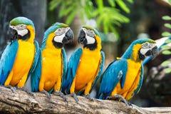 Blue-and-Yellow Macaw. [Ara ararauna] sitting on log stock image