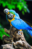 Blue-and-Yellow Macaw. [Ara ararauna] sitting on log stock images