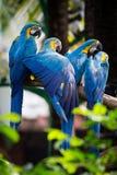 Blue-and-Yellow Macaw. [Ara ararauna] sitting on log stock photography