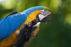 The blue and yellow macaw Ara ararauna Royalty Free Stock Photo