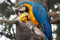 Blue-and-yellow macaw Ara ararauna on a tree eating a mango Stock Photo