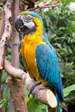 Blue-and-Yellow Macaw, Ara ararauna. Macaw in Victoria Butterfly Gardens. Victoria, BC, Canada Royalty Free Stock Image