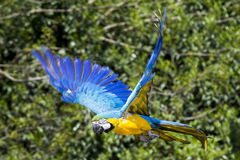Blue yellow Macaw / Ara parrot in flight. Shot while he was flying during a presentation event stock images