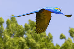 Blue yellow Macaw / Ara parrot in flight. Shot while he was flying during a presentation event stock photography