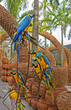 Blue and Yellow Macaw (Arara parrots) in Nong Nooch Tropical Botanical Garden, Pattaya, Thailand. Amazing Blue and Yellow Macaw (Arara parrots) in Nong Nooch Stock Image