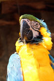Blue yellow macaw Stock Photo