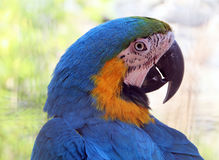Blue yellow macaw. Beautiful parrot Royalty Free Stock Photo