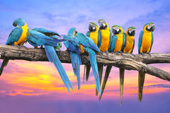 Blue and Yellow Macaw with beautiful sky at sunset Royalty Free Stock Images