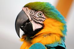 Blue-and-Yellow Macaw Bird Royalty Free Stock Images