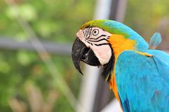 Blue-and-Yellow Macaw Bird Stock Photos