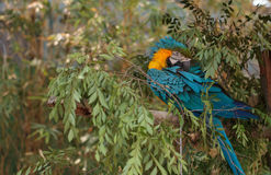 Blue and yellow Macaw bird Stock Images