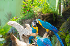 Blue and yellow Macaw bird clings to a tree branch, Royalty Free Stock Photo