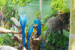 Blue and yellow Macaw bird clings to a tree branch, Stock Images